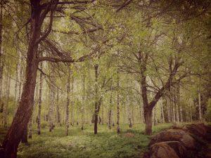 uusi metsä